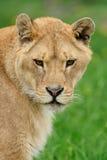 Lion dans l'herbe verte Images stock