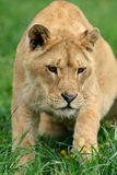 Lion dans l'herbe verte Photos libres de droits