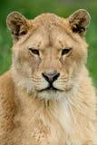 Lion dans l'herbe verte Photographie stock libre de droits