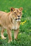 Lion dans l'herbe verte Images libres de droits