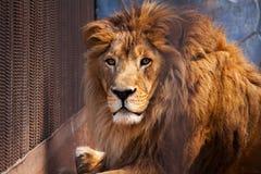 Lion dans la cage Photographie stock