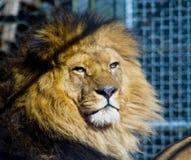 Lion dans la cage Image stock