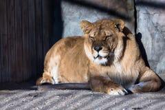Lion dans la cage Image libre de droits