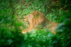 Lion dans la jungle Images libres de droits