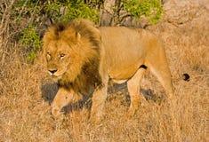 Lion dans la longue herbe Images libres de droits