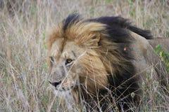 Lion dans la longue herbe Image libre de droits