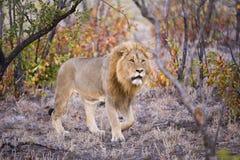 Lion dans la régfion boisée de Mopani Images libres de droits