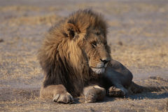 Lion dans la savane Photos stock