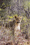 Lion dans le buisson africain Photos libres de droits