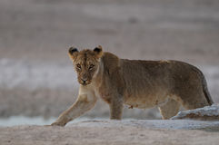 Lion dans le désert Photo stock