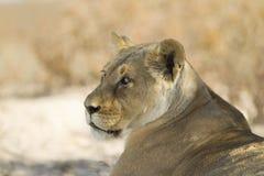 Lion dans le désert de kalahari Photographie stock libre de droits