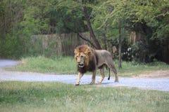 Lion dans le domaine Image stock