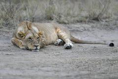 Lion dans le masai Mara image libre de droits