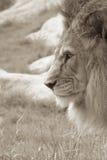 Lion dans le profil Photo stock