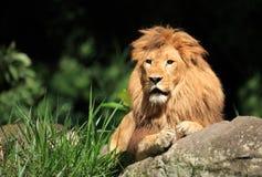 Lion dans le sauvage Images libres de droits