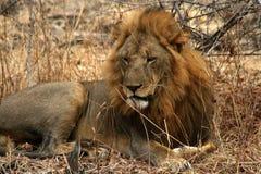 Lion dans le sauvage Photos stock