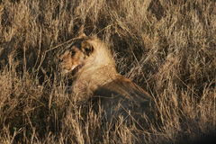 Lion dans le serengeti photo stock