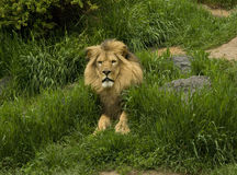 Lion dans le zoo Photographie stock