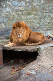 Lion dans le zoo Images libres de droits