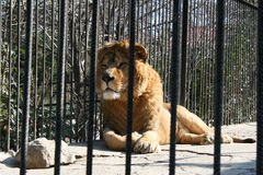 Lion dans le zoo Images stock