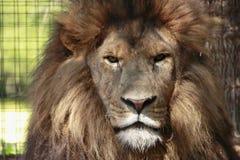 Lion dans le zoo Photos stock