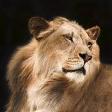 Lion dans les ombres Photos stock