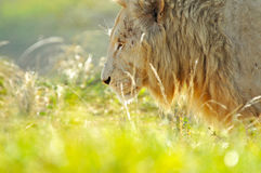 Lion dans Lion Park, Afrique du Sud Photo libre de droits