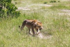 Lion dans Maasai Mara, Kenya Images libres de droits