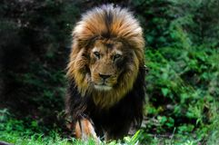 Lion from dartmoor zoo. royalty free stock image