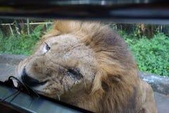 Lion de alimentation Photographie stock
