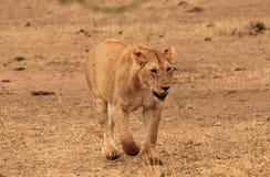 Lion de approche Image stock