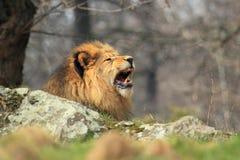 Lion de baîllement images stock