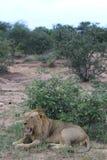 Lion de baîllement photo libre de droits