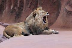 Lion de baîllement Images libres de droits