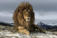 Lion de Barbarie, Panthera Lion Lion Images libres de droits