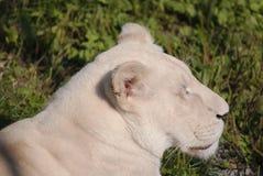Lion de blanc de Timbavati Photographie stock libre de droits