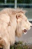 Lion de blanc de Timbavati Photos stock