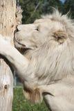 Lion de blanc de Timbavati Images libres de droits
