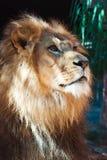 Lion de côté sur regarder dans fixement la distance Images stock