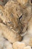 Lion de chéri Photographie stock libre de droits
