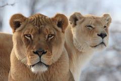 Lion de chéri avec la mère Images libres de droits