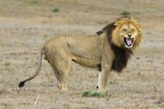 Lion de conduite Photos libres de droits