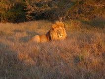 Lion de coucher du soleil Image libre de droits