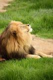 Lion de exposition au soleil Image libre de droits