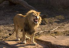 Lion de grognement Image stock