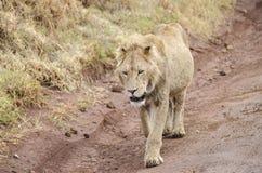 Lion de Jung Photo libre de droits