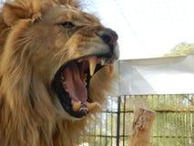 Lion de jungle de roi dans le zoo, bel animal photos stock