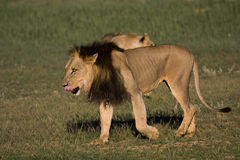 Lion de Kalahari Photo stock