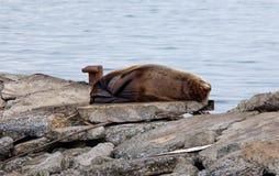 Lion de la Mer du Nord de sommeil photographie stock libre de droits
