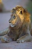 Lion de lever de soleil Images stock